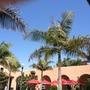 Archontophoenix cunninghamiana - King Palms at Liberty Station, San Diego, CA. (Archontophoenix cunninghamiana - King Palm)