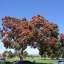 Corymbia ficifolia (Eucalytus ficifolia) - Pink Flowering Gum (Corymbia ficifolia (Eucalytus ficifolia) - Pink Flowering Gum)