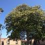 Magnolia grandiflora - Southern Magnolia (Magnolia grandiflora - Southern Magnolia)