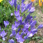 Brodiaea  (Triteleia hyacinthina (Hyacinth Brodiaea))