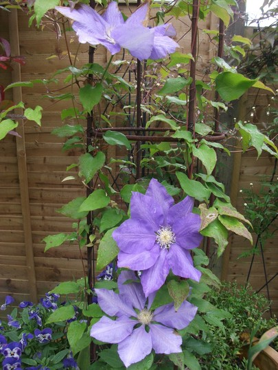 Clematis H.F. Young has completely recovered from earlier clemitis wilt (Clematis H.F.Young)