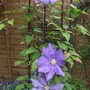 Clematis_h.f._young
