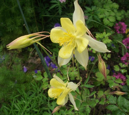 Aquilegia chrysantha 'Yellow Queen'  (Aquilegia chrysantha 'Yellow Queen')