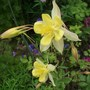 Aquilegia_chrysantha_yellow_queen_