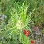 Allium Hair (Allium Hair)