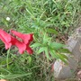 Red penstemon