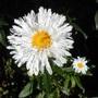 Leucanthemum_x_superbum