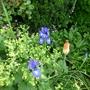 Iris and Kniphofia (Achiamella Mollis)
