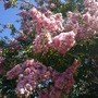 Lagerstroemia indica - Pink Flowering Cape Myrtle (Lagerstroemia indica - Pink Flowering Cape Myrtle)