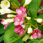 Weigela_strawberries_n_cream