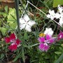 Dianthus... Dancing geisha