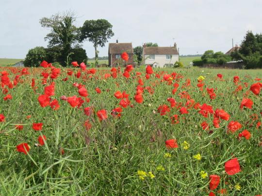 Poppy field in Kent
