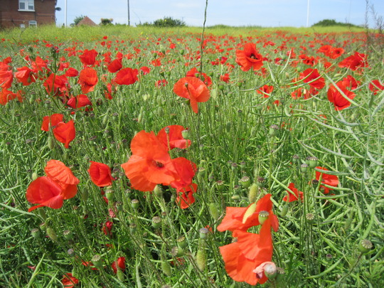 Perfect poppies