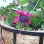 pink & black fuschia basket