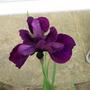 Iris Jamaican Velvet for Lori