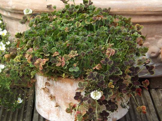 Trifolium repens Purpurascens Quadrofolium (Trifolium repens)
