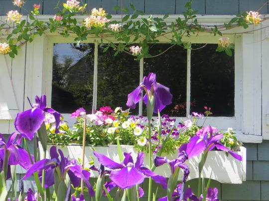 Japanese iris (iris ensata)