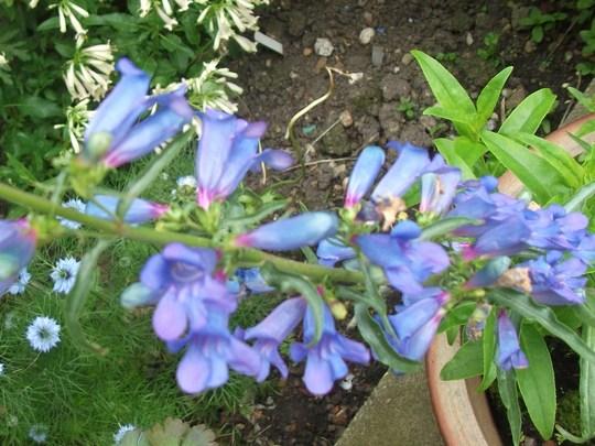 Just for my records - Penstemon heterophyllus 'Electric Blue' its first year (Penstemon heterophyllus 'Electric Blue')