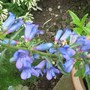 Just for my records - Penstemon heterophyllus 'Electric Blue' its first year (Penstemon heterophyllus 'Electric Blue')