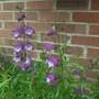 Penstemon x mexicalli' Carillo Purple' its first year (Penstemon x mexicali 'Carillo Purple')