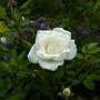 Rosa 'Kent' a patio Rose.