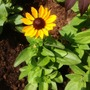 Rudbeckia (Rudbeckia hirta (Black-eyed Susan))