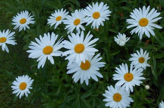 Shasta daisies/ Leucanthemum x superbum (Leucanthemum x superbum)