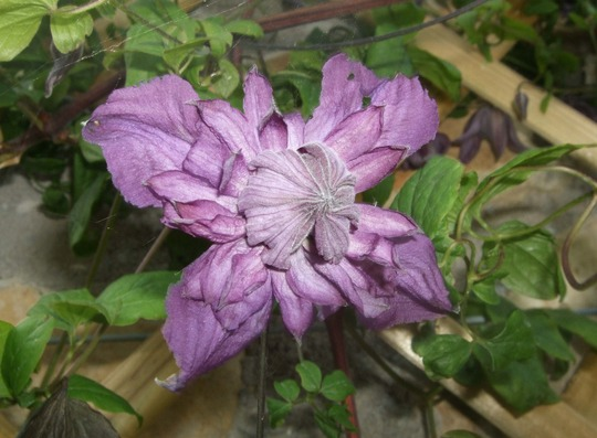 Clematis viticella 'Mary Rose' (Clematis viticella)