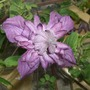 Clematis_mary_rose_