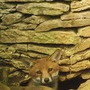 Fox cub!!