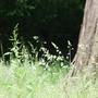 Westonbirt grasses