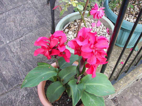"""Canna Lily """"Rose"""""""