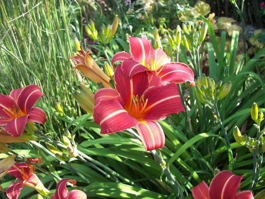 Daylily Neyron Rose