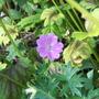 """Geranium sanguinium """"Barnsley"""" (Geranium sanguineum (Bloody cranesbill))"""