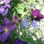 Clematis Perrins Pride with Geranium Blue Cloud