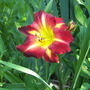 "Day Lily ""Magic Carpet Ride"" (Hemerocallis)"