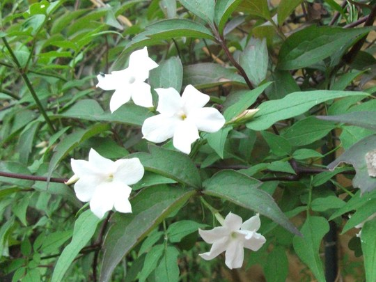 Jasminum officinale (White) at last after 3 years it has flowered (growing through Clematis) (Jasminum officinale (Common jasmine))