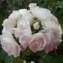 Rose Margaet Merril White Floribunda (Rose Margaet Merril)