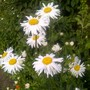 Shasta Daisy (Leucanthemum x superbum (Shasta daisy))