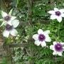 Clematis_florida_bicolor_2013