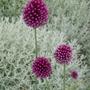 Allium_sphaerocephalum_2013