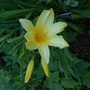 Yellow_daylily
