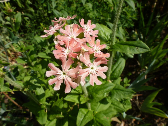 Lychnis chalcedonia (Lychnis chalcedonia)