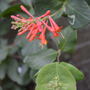 Orange_honeysuckle