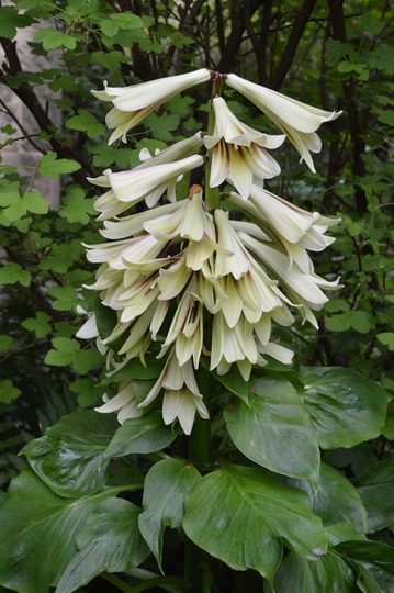 Cardiocrinum giganteum (Cardiocrinum giganteum (Giant lily))