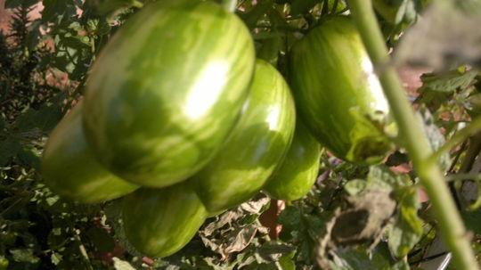 Heirloom tomatoes on a vine