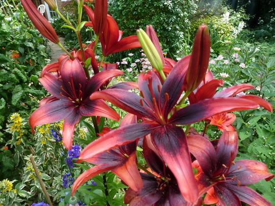 Lily 'Black Out' (Lillium)