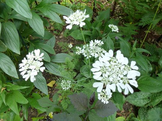 Orlaya grandiflora (Orlaya grandiflora)
