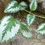 Dead Nettle (Lamium amplexicaule (Henbit Deadnettle))
