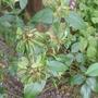 Rosa x odorata 'Viridiflora'